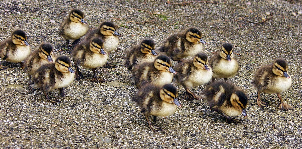 ducklings-2412798_960_720